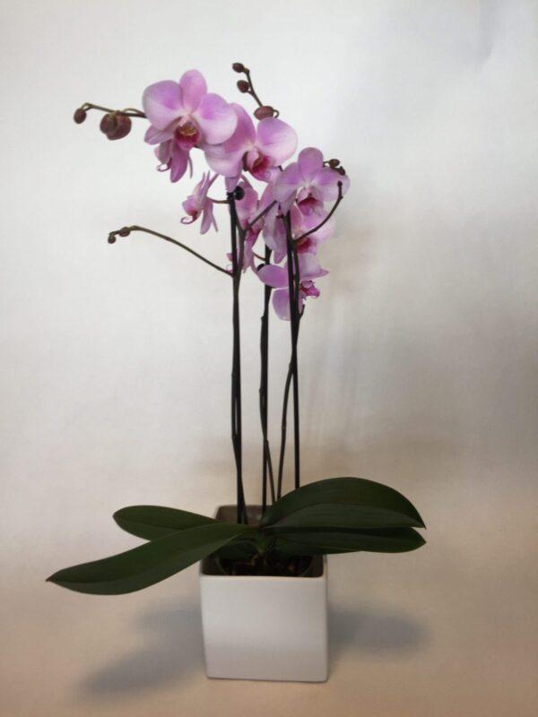 hvid orchide