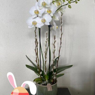 Påskeorchide Hyacinten