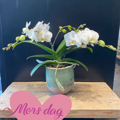Mors dag orchide