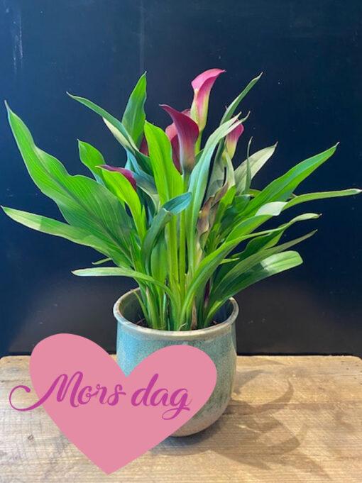 Blomstrene-plante2_morsdag