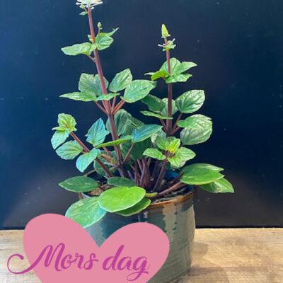 Blomstrene-plante_morsdag